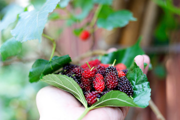 mulberry and leaves on hand,Red and black berry fruit.little grap or Mon berry