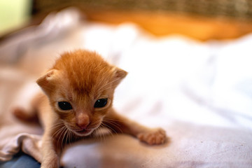 Newborn red kitten. New born baby cat. Cute baby cat close photo. Lovely kitty wants mom, wants mommy tits. Sweet baby cat wants milk. Newborn life. Free empty space for text