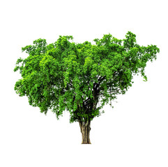 green tree isolated on white background and clipping path.