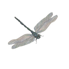Watercolor painting a dragonfly isolated on white
