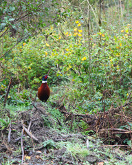 Beautiful male pheasant bird