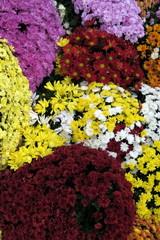 Chrysanthèmes colorés
