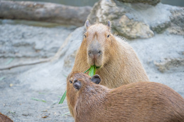 Cute Capybara (biggest mouse) eating and sleepy rest in the zoo, Tainan, Taiwan, close up shot