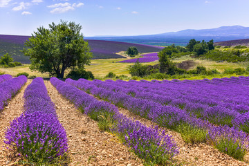 lavender field with landcape and tree, Ferrassières, Provence, France
