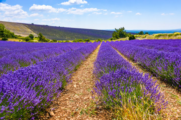 lavender fields and landscape, panorama near Ferrassières, Provence, France