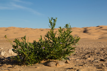 Tender green of a flower in the desert Sahara in Tunisia