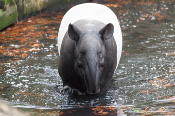 The male tapir swimming in a river in the jungle .