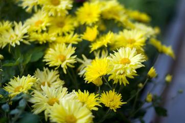 Bright autumn yellow chrysanthemum