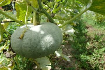 畑のかぼちゃの実