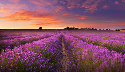 Lavender field at dawn Wall mural