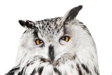 Fotoväggar - large isolated eagle-owl closeup