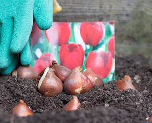 Tulip bulbs are on flower bed in garden against a blurred background image of card of blooming red tulips flowers. Concept: gardening in autumn and spring season.