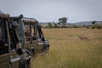 Cheetah walks past photographers in two trucks