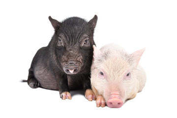 Two Vietnamese pigs together isolated on white background