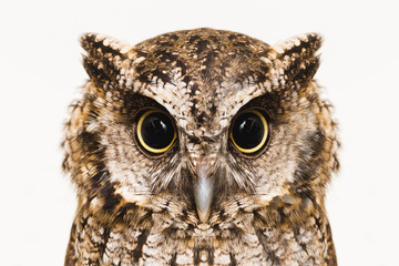 Poster Uil Owl face in high resolution, owl isolated.