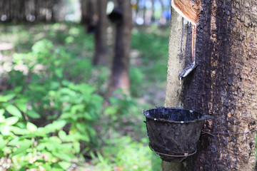 Plantation of rubber trees, Koh Samui Island, Thailand