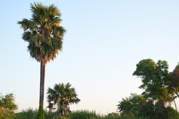 Background of clear sky and sugar palm trees