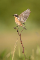 The whinchat, saxicola rubetra is sitting and posing with opened wings, next to his nest, somewhere in the grass, green background, typical environment for the nesting, golden light, Czech Republic