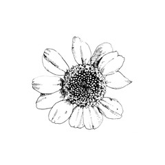 Drawing of a natural daisy like flower with messy petals / Freehand illustration with pen in black and white