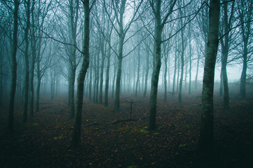 Row of trees in a spooky woodland on a foggy winters day, with a muted blue edit.