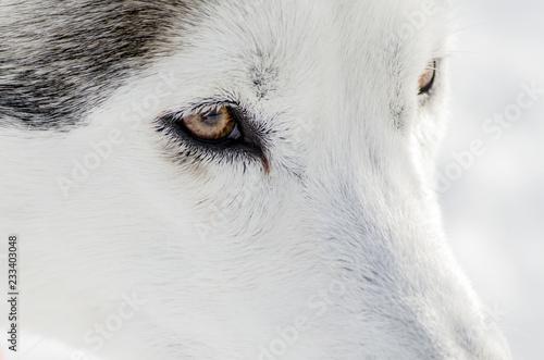 One Siberian Husky Dog Close Up Portrait Husky Dog Has Black And