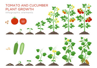 Obraz Tomato and cucumber plants growth stages infographic elements in flat design. Planting process from seeds sprout to ripe vegetable, plant life cycle isolated on white background vector illustration. - fototapety do salonu
