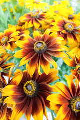 close-up of colorful denver daisies