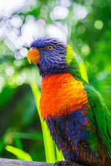 Colorful rainbow lorikeet parrot
