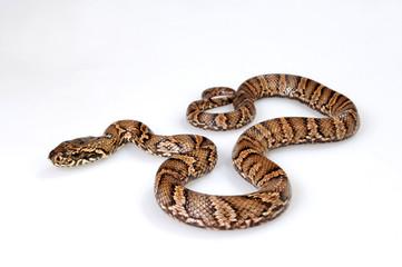 Amurnatter (Elaphe schrenckii) - Amur rat snake