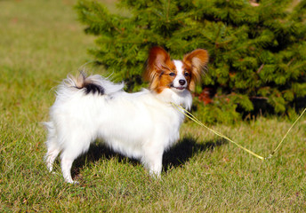 The Papillon stands on the street in front of a green spruce. Beautiful, white dog posing on the grass. Cute, funny puppy walks in the Park in autumn. The Continental Toy Spaniel. Horizontal image.