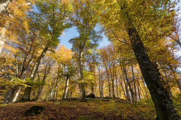 Beech forest with trees in backlight. Dry leaves of the undergrowth. Autumn colors, branches and trunks without leaves. Beech forest, beech forest in autumn.