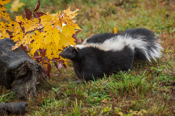 Wall Mural - Striped Skunk (Mephitis mephitis) Looks Out from Under Autumn Leaf