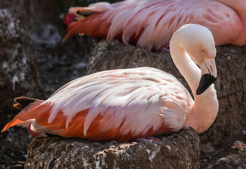 Chilean flamingo (Phoenicopterus chilensis) sitting on a nest with sunlight