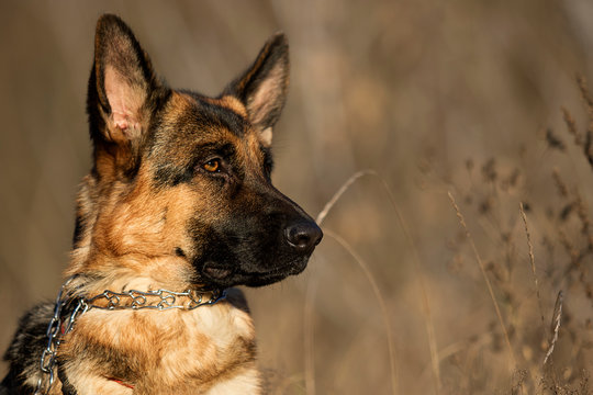 Shepherd dog portrait outdoors