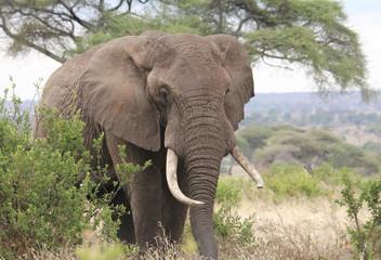Bull Elephant, Tanzania