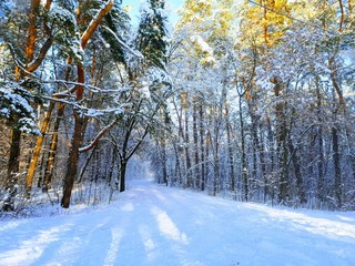 Snow covered winter forest, trees in the snow