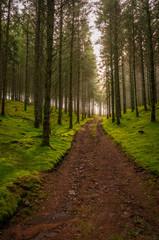Piste forestière, bois de sapins, sol recouvert de mousse, contre jour, plateau de Mille-Vache, Creuse, France