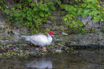 This muscovy duck seems to be ponder its next move.