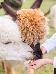 feeding white and brown alpaca in farm, animal on green field