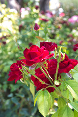 Close-up of a bouquet of red roses