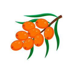 Sea buckthorn  vector illustration isolated on white background.