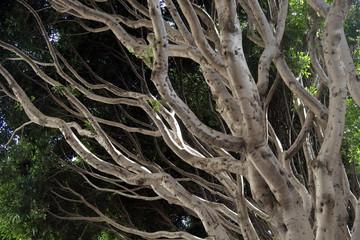 Naked tree branches of coral tree. San Francisco, California.