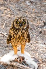 Short-Eared Owl on Genovesa Island