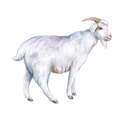 White goat isolated on a white background. Watercolor. Illustration. Template. Hand drawing. Clipart. Close-up