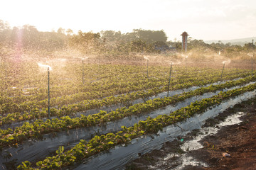 Water spray on an agricultural strawberry field