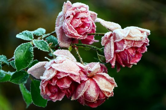 Rose freezing under the first snow in the garden close-up.