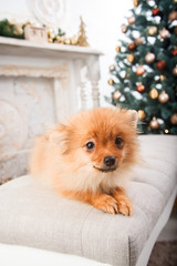 Small cute funny pomeranian dog sitting at sofa on Christmas tree background. A Christmas gift. beautiful dogs
