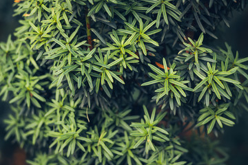 European yew (Taxus baccata) is a conifer native to western, central and southern Europe, northwest Africa, northern Iran and southwest Asia.