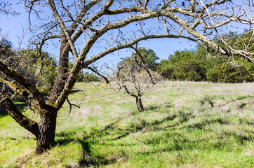 Bare black walnut tree with hanging nuts in California in field