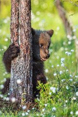 Brown bear cub hiding behind a tree in the summer forest among white flowers. Scientific name: Ursus arctos. Natural  Background. Natural habitat. Summer season.